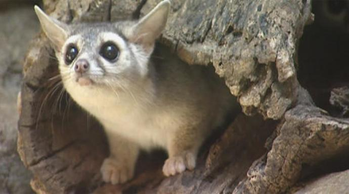 Why do I want a ring tailed cat as a pet?