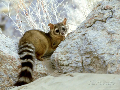 Why Do I Want A Ring Tailed Cat As A Pet Girlsaskguys