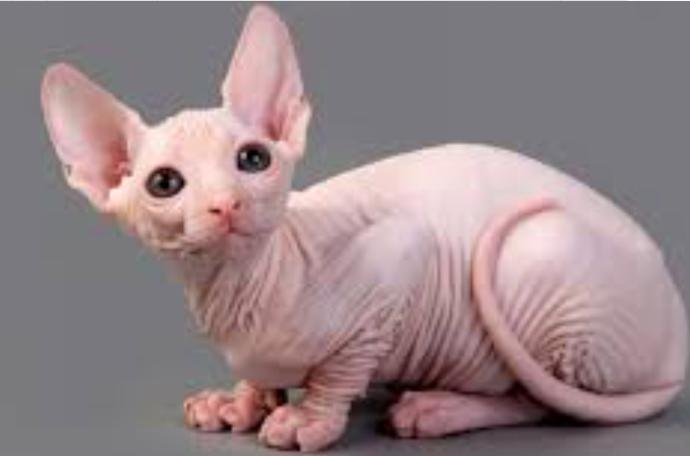 How does my hairless pedigree pussy look?