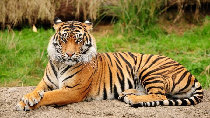who would win in a fight?  Bengal tiger vs 15 Hafthór Júlíus Björnsson  (human-strongman)?