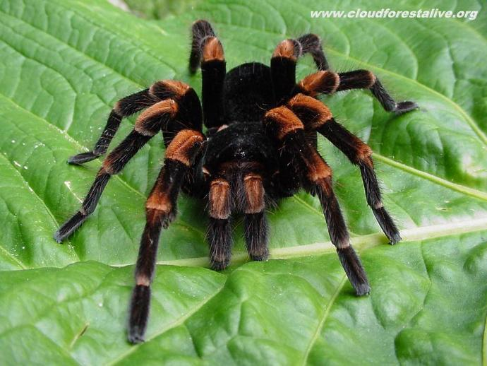 Why do most people find Tarantulas disgusting?