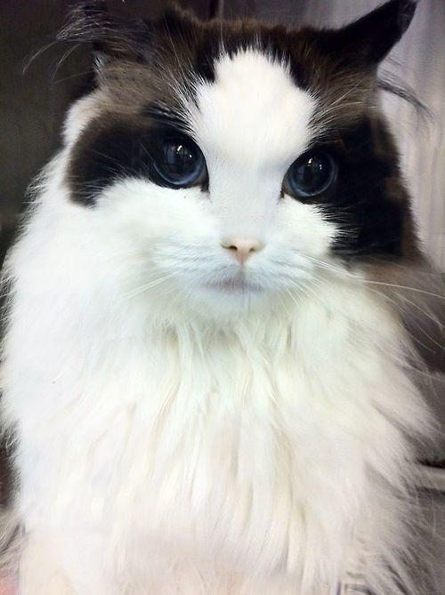 What breed is this cat?