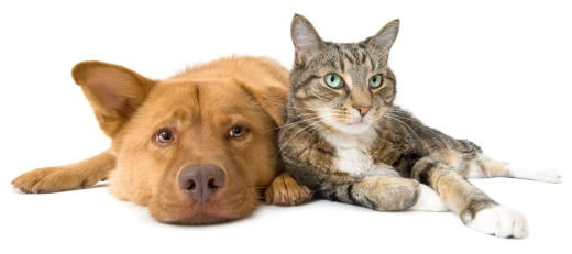 Would you ever consider fostering a cat or dog?