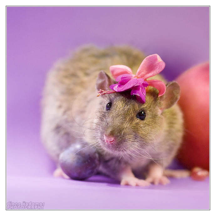 Do you like fancy rats (aka domesticated/pet rats)?