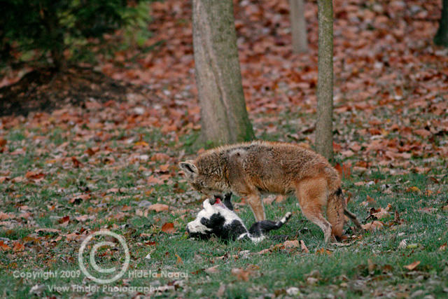 Do you think we should introduce coyotes in areas where feral cats are a problem to control the population?