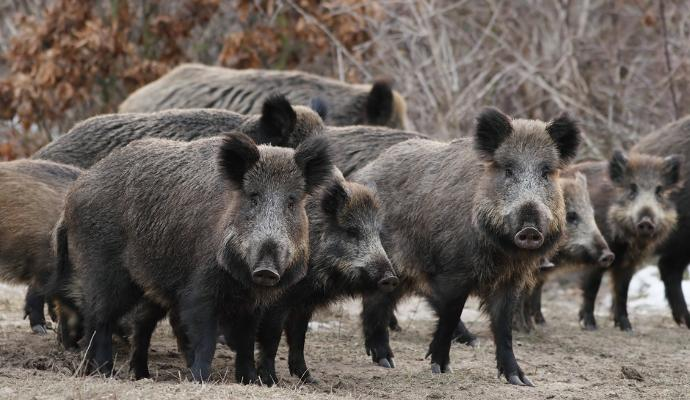 What would you do if your house got taken over by Boars?