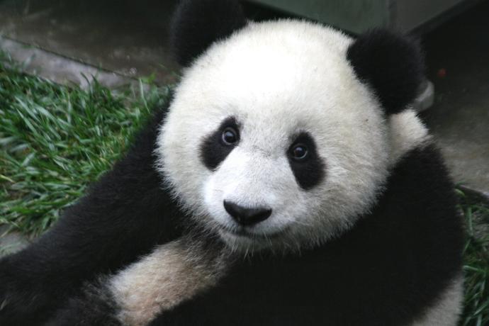 What Panda species is cuter?