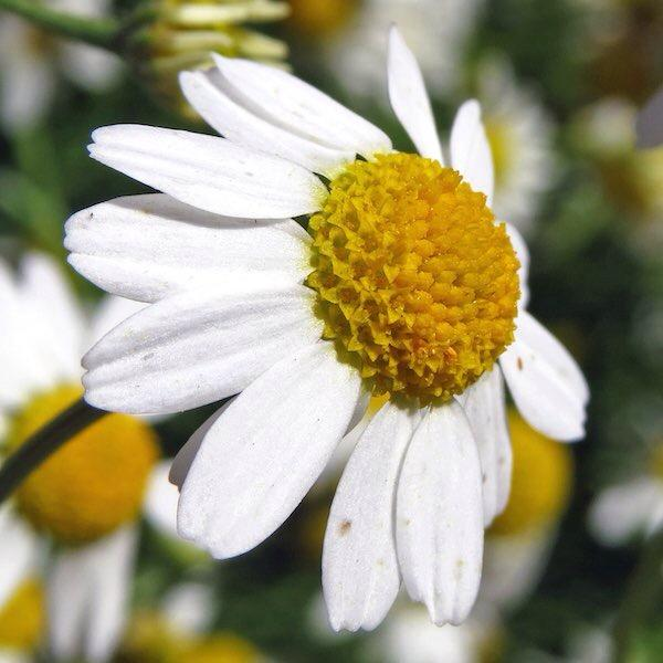 i found an herb in my backyard and wondering if its chamomile or daisy????????????????????????????????????????????????????????????????