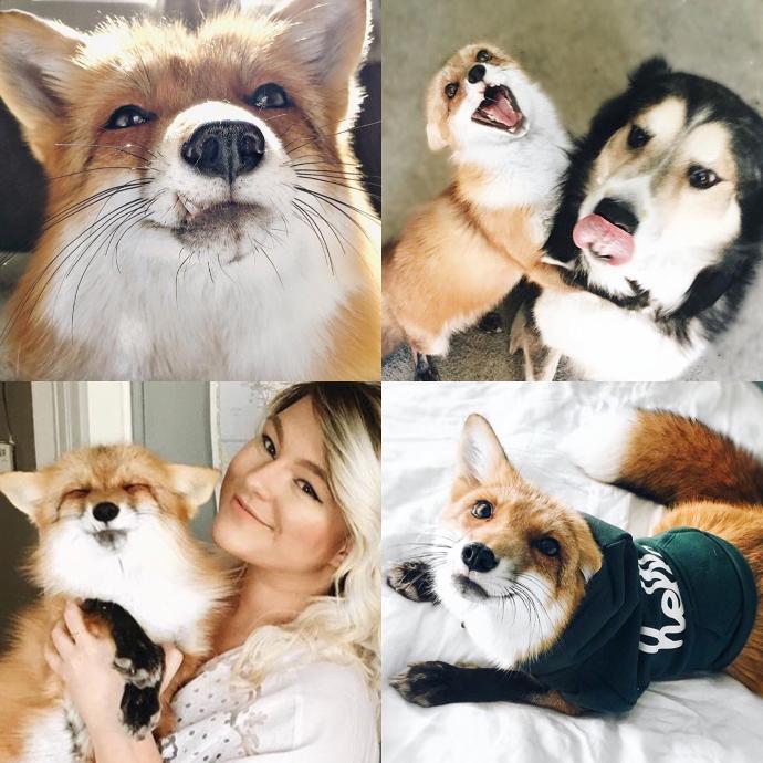 Should I get a pet fox in the future?