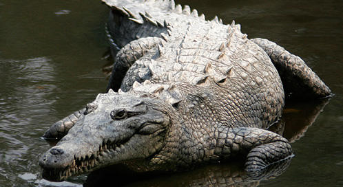What would you do if you see a crocodile in your backyard out of no where?