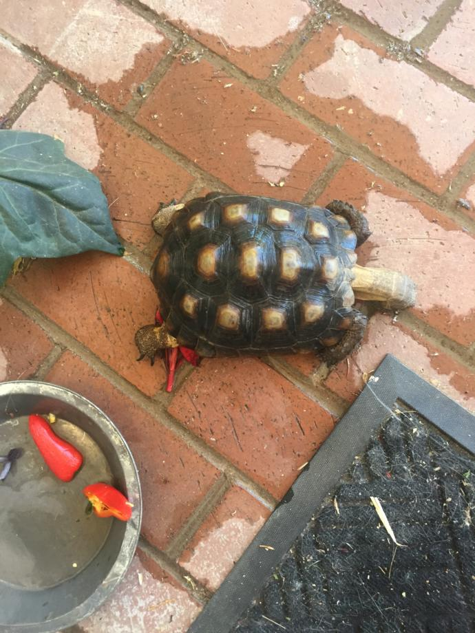 Can anybody help figure out what kind of turtle/tortoise this is?
