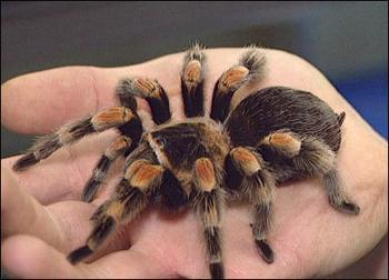 Do You Think Tarantulas Are Cute Girlsaskguys
