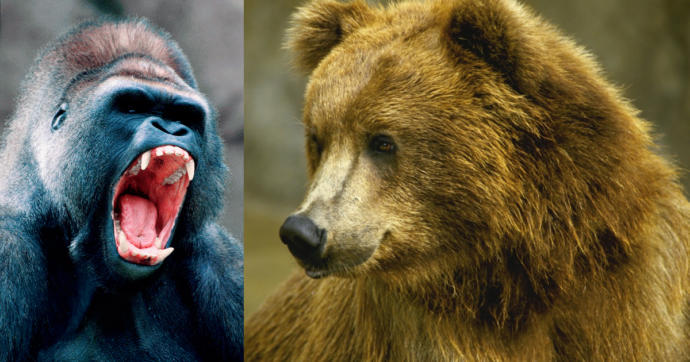 GRIZZLY BEAR VS SILVERBACK GORILLA, Who would win in a fight?