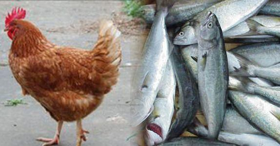 Which one do u like to eat ? Just one of them u can choose , Chicken or Fish?