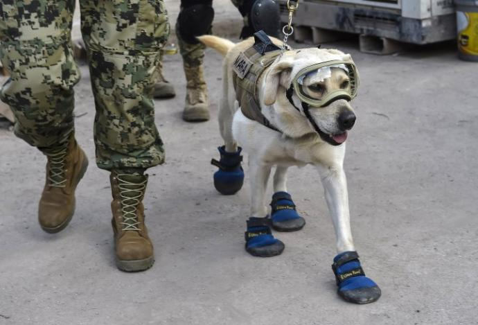 What do You Think of Frida the Mexican Navy Rescue Dog?