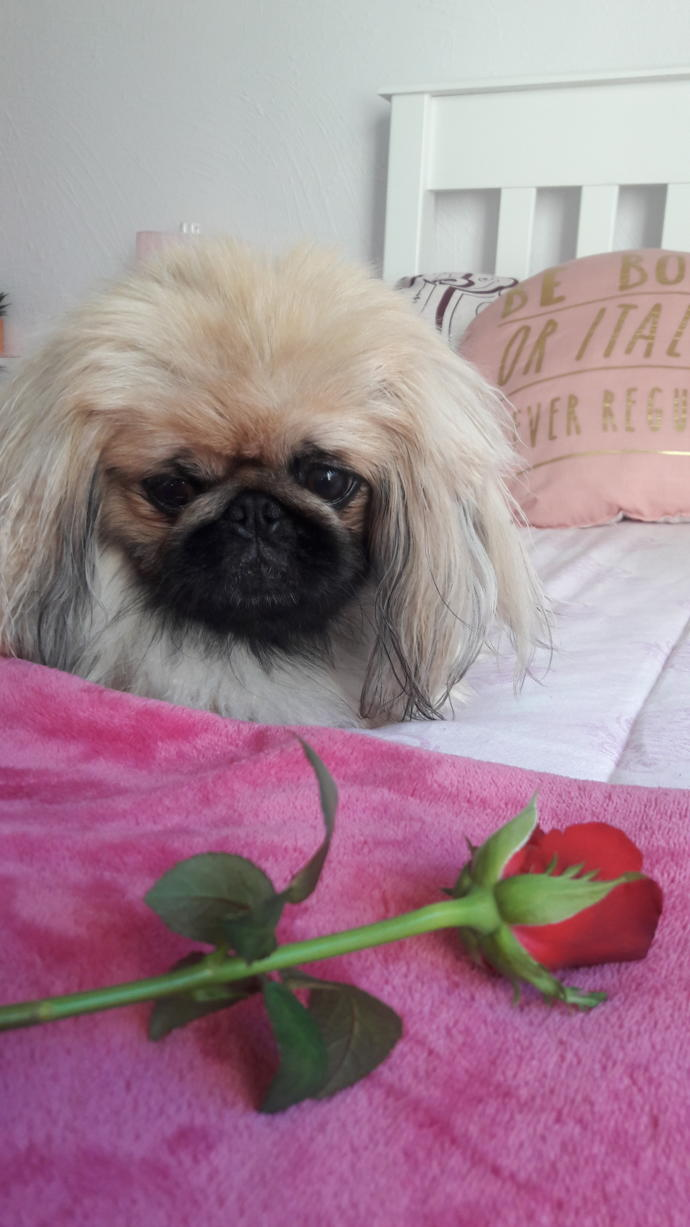 Is it normal to give your dog a Valentine's Gift🌷😂?