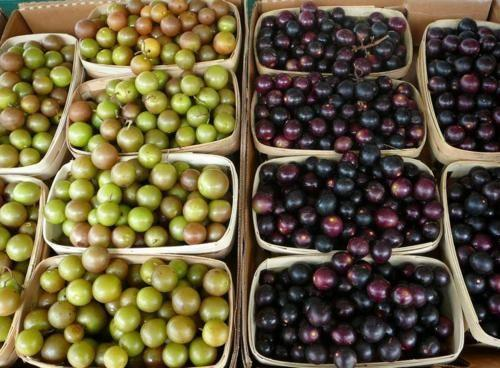 Green ones are scuppernongs and the purplish ones are muscadines