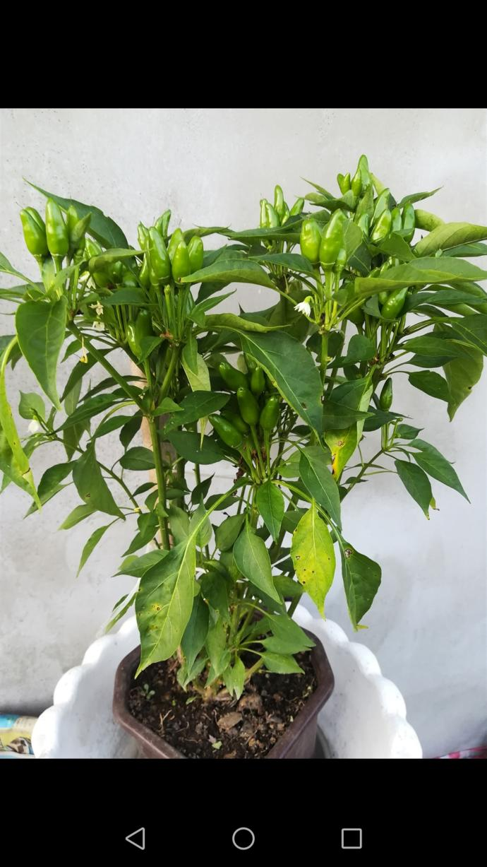 What do you think about my pet plant chilly pepper and my sage plant?