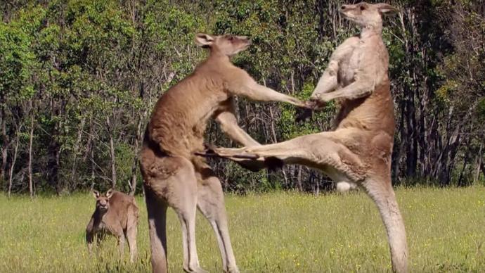 How do I challenge a kangaroo to a boxing match?