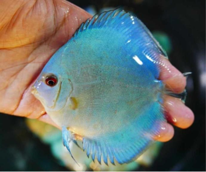 What is your favorite aquarium freshwater fish?