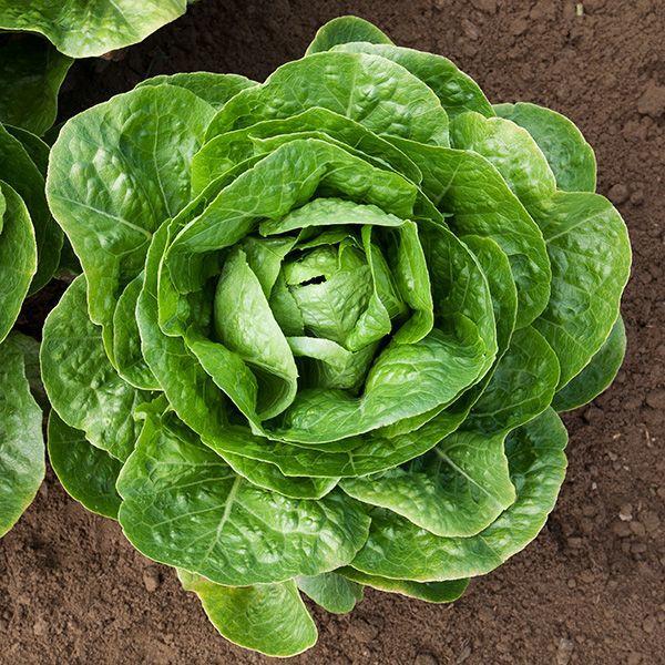 Do you like lettuce?