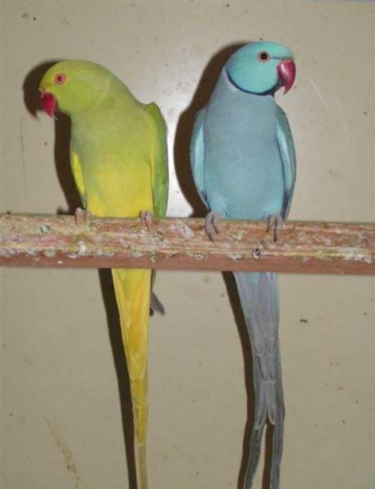 What is your favorite pet parrot/parakeet species?