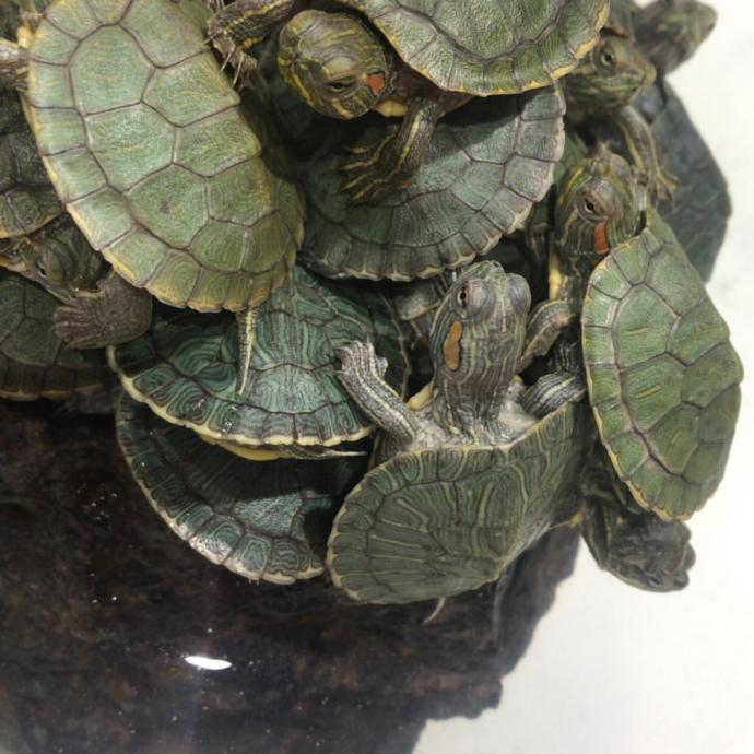 What kind of little turtles is this?