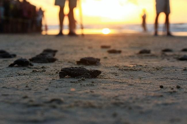 Would you want to watch newly hatched sea turtles be released into the wild?