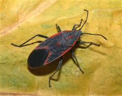 We now have Kissing Bugs , they give you a parasite that over time destroys your heart. Have you been bit on the lips by a Kissing Bug?