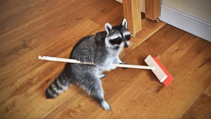 Would you ever hire a raccoon for chores?