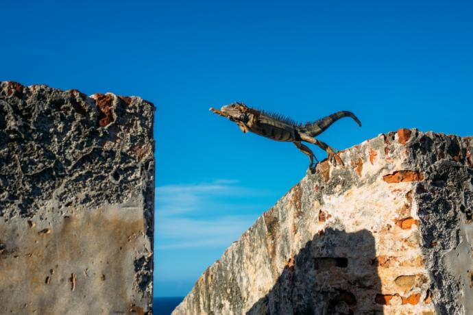 This Iguana is practicing parkour
