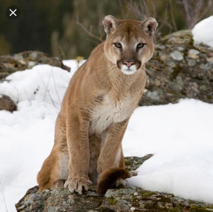 Would you have this cougar as a pet?