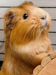Do you like guinea pigs?
