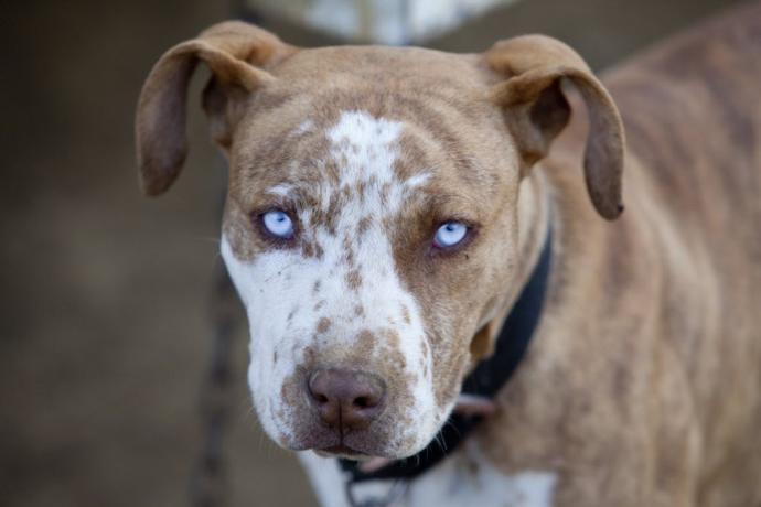 Pit Bulls: A beauty or a bully?