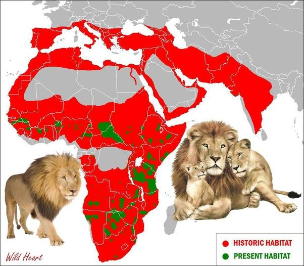 Did you know that Lions once lived in Europe?