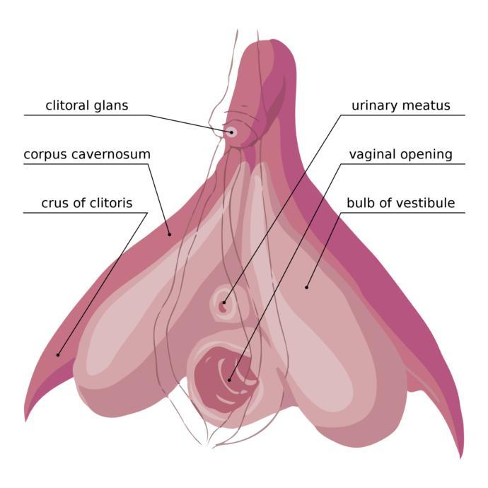 The internal clitoris surrounding the vaginal opening