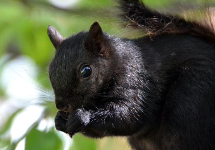Have you ever seen a black squirrel?