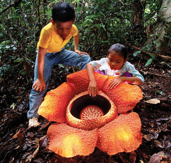 Scientists discover the worlds largest flower. Opinions?