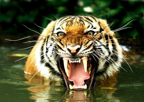A tiger is about to eat you alive, brace yourself or amputate your legs?