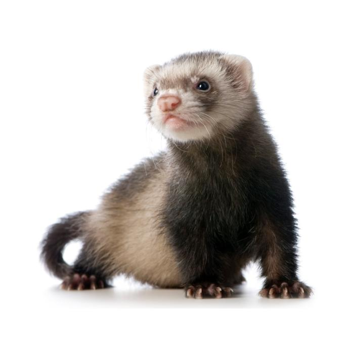 Should I get a ferret while I am in college?