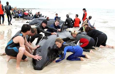 If you saw a whale beached on a beach, would you save it or let it dead?