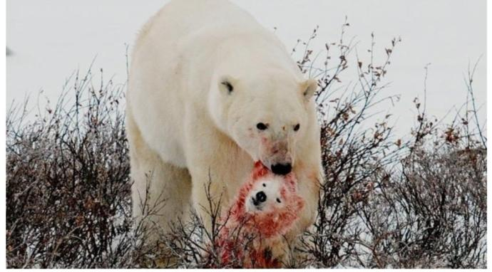 Just what on earth is going on here? Habitat destroyed by climate change, polar bears forced to eat their cubs?