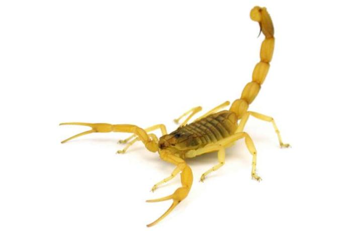 Do most people that are stung by scorpions die or survive?