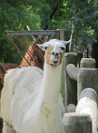Are the necks of llamas proportionate to their body size?