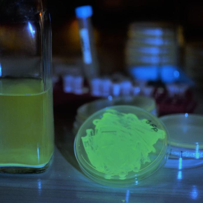Genetically engineered yeast