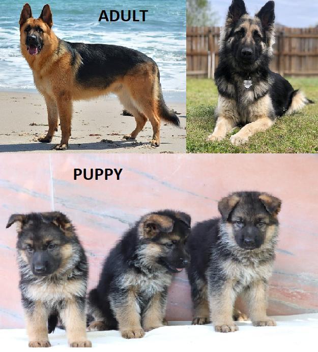 German Shepard adult vs a puppy