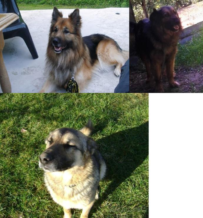 Examples of a mixture of a breed German Shepard with Karst Shepard.