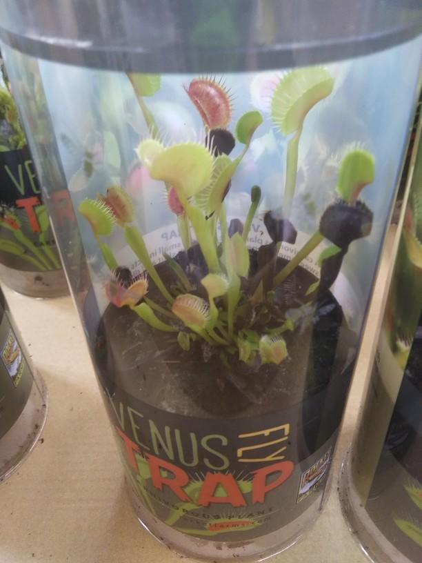 Would you ever like to own a Venus flytrap?