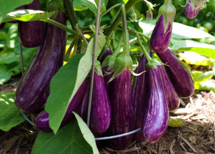 When was the last time youve eaten an eggplant and why is it purple?