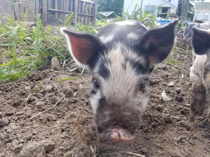 Piggies up-date, pick names for the babies?
